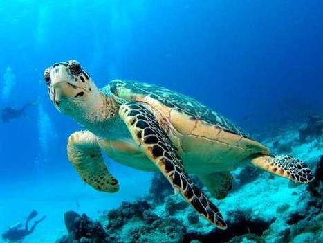 #Israeli #biologists working to #preserve #SeaTurtles ~ 7 that exist, 6 face #eXtinction | Rescue our Ocean's & it's species from Man's Pollution! | Scoop.it