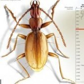 New Beetle Species Found in Deepest Known Cave : DNews | Paneco Press: Species Watch | Scoop.it