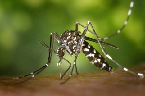 "Experts call for drastic action against Asian tiger mosquito | Do you know ""Belgium""? ベルギーって言う国知ってますか? 