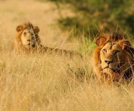 Conservationists warn of decline in #lion numbers in #Uganda | Messenger for mother Earth | Scoop.it