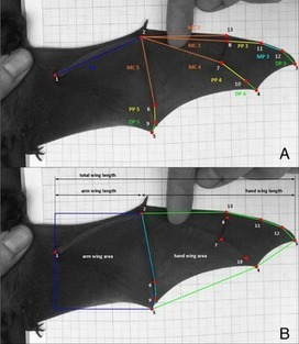 Common Noctule Bats Are Sexually Dimorphic in Migratory Behaviour and Body Size but Not Wing Shape | ticks | Scoop.it