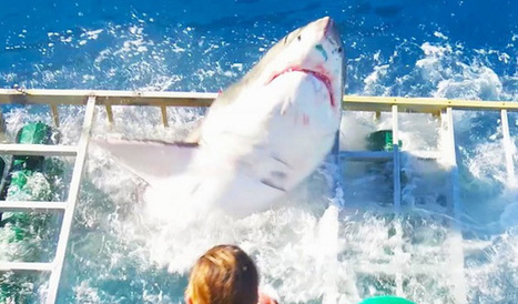 Insane video shows great white shark break into a dive cage with a diver inside | xposing world of Photography & Design | Scoop.it
