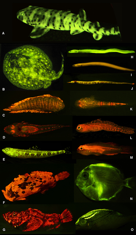 Researchers unveil rich world of fish biofluorescence | biomimicry | Scoop.it