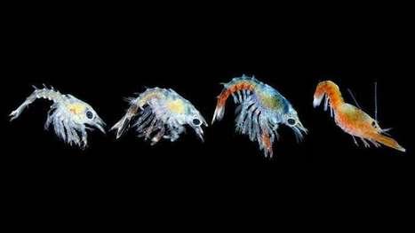 Rising ocean temperatures threaten baby lobsters | Oceans and Wildlife | Scoop.it