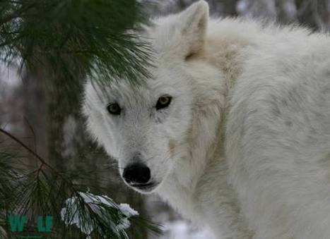 Wolf Conservation Center: Help Our Nation's Prime Wilderness Areas Stay Wild | GarryRogers NatCon News | Scoop.it
