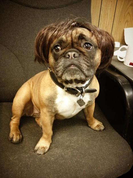 My dog wearing a wig - Imgur | Funny Finds | Scoop.it