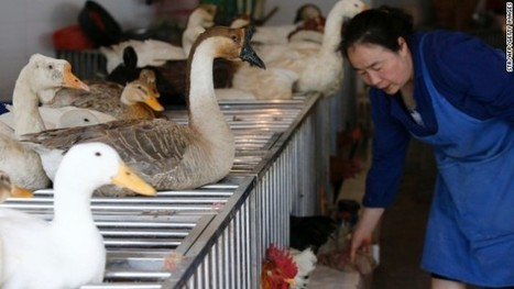 Scientist: Poultry trade may be spreading deadly bird flu | Virology News | Scoop.it