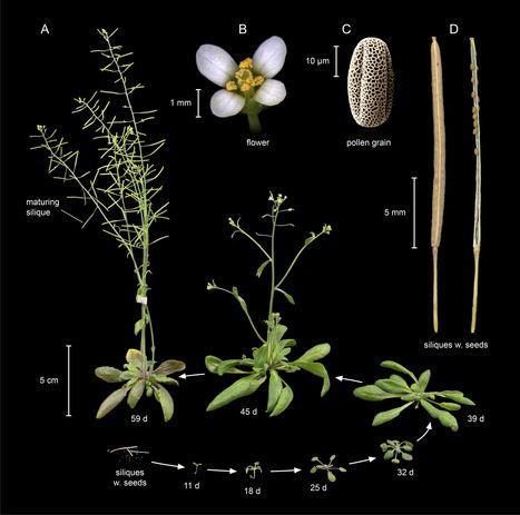 Planting molecular functions in an ecological context with Arabidopsis thaliana | AgroSup Dijon Veille Scientifique AgroAlimentaire - Agronomie | Scoop.it
