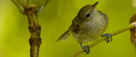 Bird DNA shows inbreeding linked to shorter lifespan  | Amazing Science | Scoop.it