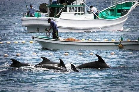 127 Million Reasons Why the Cove Dolphin Slaughter Continues | Nature Animals humankind | Scoop.it