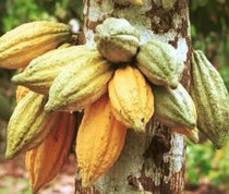 Building Climate Smart Value Chain In Cocoa Sector | News Ghana | CGIAR Climate in the News | Scoop.it