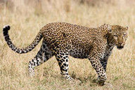 Learning English - The English We Speak - A leopard can't change its spots | Paraguay Lifestyle | Scoop.it