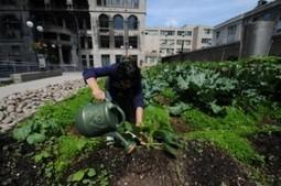 Agriculture urbaine à Montréal : les projets sont nombreux, mais mal coordonnés | Courts-Circuits.Com | Scoop.it