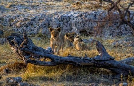A Wildcat Amid the Wild's Big Cats | UANews | CALS in the News | Scoop.it