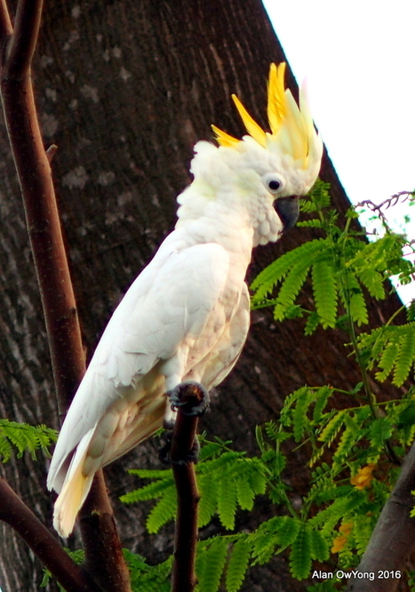 Counting The Wild Parrots of Singapore | All Things Zygodactyl | Scoop.it