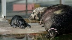 Le bébé phoque d'Océanopolis s'appelera Torpenn - France 3 Bretagne | Tourisme en Bretagne Sud | Scoop.it