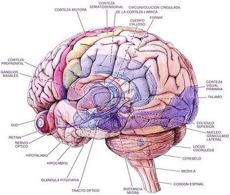 Cerebro de hombre. Cerebro de mujer.   Emotive Psicología: Liberación sexual   Scoop.it