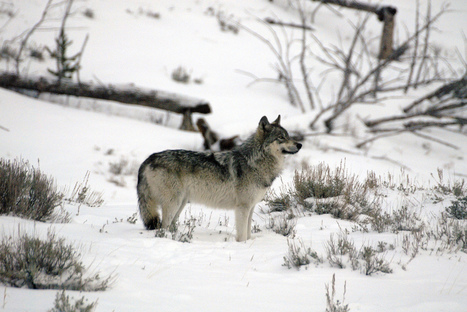 Death of Yellowstone's Most Famous Wolf Is a Troubling Sign of Things to Come | Sustain Our Earth | Scoop.it