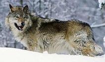 A Wolf at the Door of Academe | TRENDS IN HIGHER EDUCATION | Scoop.it