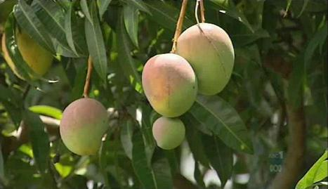 #Mango #farmers!!! CAUTION!! Is your plants leaves petioles, twigs, branches & fruits which produce water-soaked?? | Bacterial Culture | Scoop.it