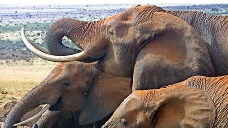 Efforts to boost elephant protection fails at Cites - BBC News | GMOs & FOOD, WATER & SOIL MATTERS | Scoop.it