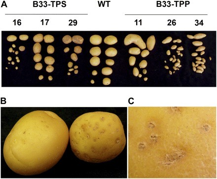 Altering Trehalose-6-Phosphate Content in Transgenic Potato Tubers Affects Tuber Growth and Alters Responsiveness to Hormones during Sprouting | Publications @ the Börnke Lab | Scoop.it