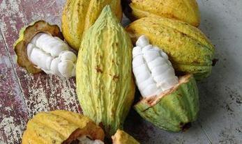 Prevén que producción de cacao en el Perú crezca 20% a nivel nacional | Managing Technology and Talent for Learning & Innovation | Scoop.it