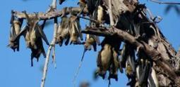 Fruit bat population covering central Africa carries two deadly viruses | Ecohealth | Scoop.it