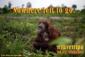 PALM OIL ECOCIDE -THE DEFORESTATION HOLOCAUST -  Fast-Tracking Our Own Extinction | Biodiversity IS Life -- Conservation,Ecosystems,Wildlife,Rivers,Water,Forests | Scoop.it
