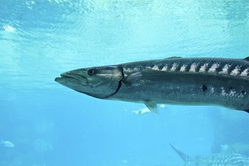 FWC approves barracuda conservation measures for South Florida | Scuba Diving | Scoop.it