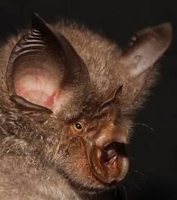 Quatre nouvelles espèces de chauves-souris découvertes en Afrique   Actualités Afrique   Scoop.it