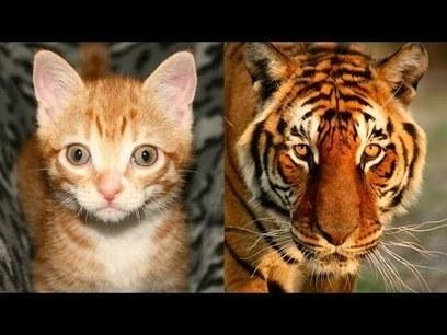 House Cats/Tigers - Similarities between Domestic & Wild? | Gold Bars | Scoop.it