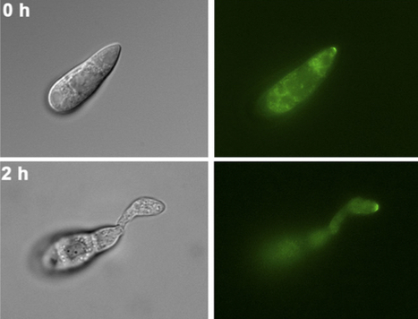 Plant Cell: Septin-Dependent Assembly of the Exocyst Is Essential for Plant Infection by Magnaporthe oryzae (2015) | Publications from The Sainsbury Laboratory | Scoop.it