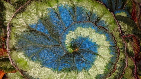 Blue leaves help plants get extra energy from sun #solar #biology | Limitless learning Universe | Scoop.it
