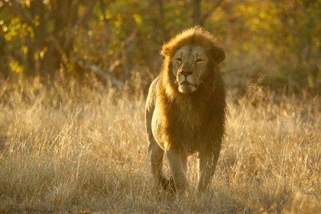 Zimbabwe Park to Cull 200 Lions, Cites Lack of Hunters | Trophy Hunting: It's Impact on Wildlife and People | Scoop.it