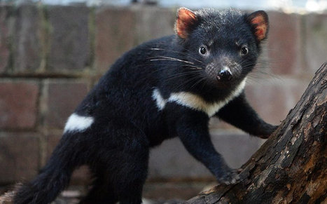 Tasmanian devil developing resistance to deadly face cancer which may allow them to 'save themselves'  | Research Administration | Scoop.it