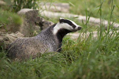 Why the organic movement's badger cull stance threatens its image | Green Life, Healthy Life | Scoop.it