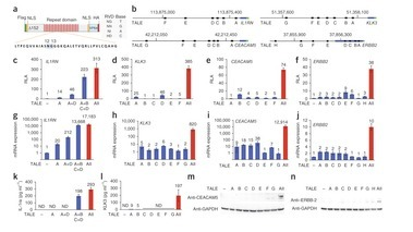 Synergistic and tunable human gene activation by combinations of synthetic transcription factors | SynBioFromLeukipposInstitute | Scoop.it