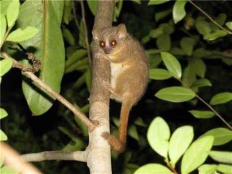 Tres nuevas especies de primate descubiertas en Madagascar | Simbiosis entre Filosofía y Ciencia | Scoop.it