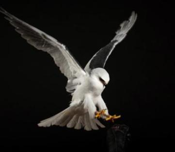 how to photograph flying birds of prey in a studio | PhotoInk | curating your interests | Scoop.it