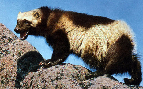 U.S. Proposes Protecting the Wolverine | SCUP Links | Scoop.it