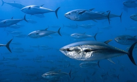 Tuna and mackerel populations suffer catastrophic 74% decline, research shows | my universe | Scoop.it