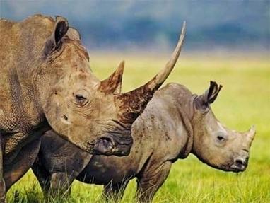 Wildlife groups under fire after rhino report 'misunderstandings' | Rhino poaching | Scoop.it