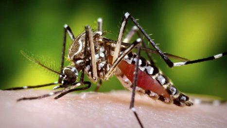 Des chercheurs brésiliens confirment le rôle majeur d'Aedes aegypti dans la transmission du virus Zika | EntomoNews | Scoop.it