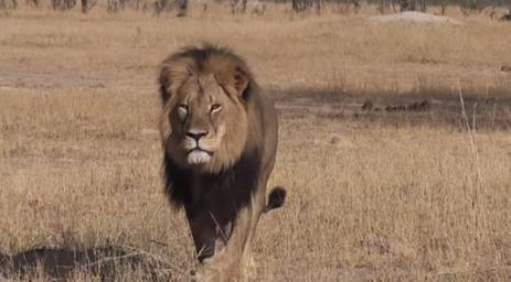 Le plus célèbre lion du Zimbabwe décapité par un braconnier | Education environnement | Scoop.it