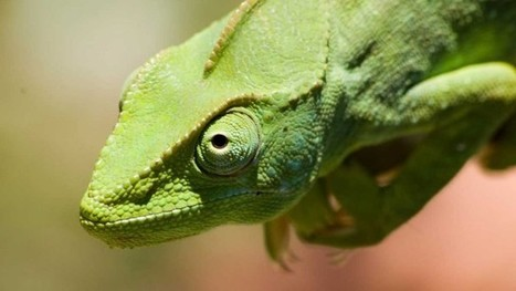 Biodiversité : Les caméléons, trésor biologique méconnu de Madagascar | De Natura Rerum | Scoop.it