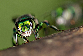 """Studies of orchid bees can enable """"drones"""" that """"see"""" 