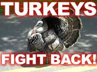 Turkeygeddon: The Thirteen Best Turkey Attack Videos | In and About the News | Scoop.it