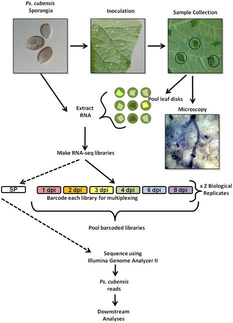 PLoS ONE: mRNA-Seq Analysis of the Pseudoperonospora cubensis Transcriptome During Cucumber (Cucumis sativus L.) Infection (2012) | Plant Genomics | Scoop.it