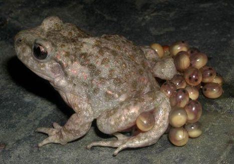 El hongo maldito de los anfibios | Planeta Tierra | Scoop.it